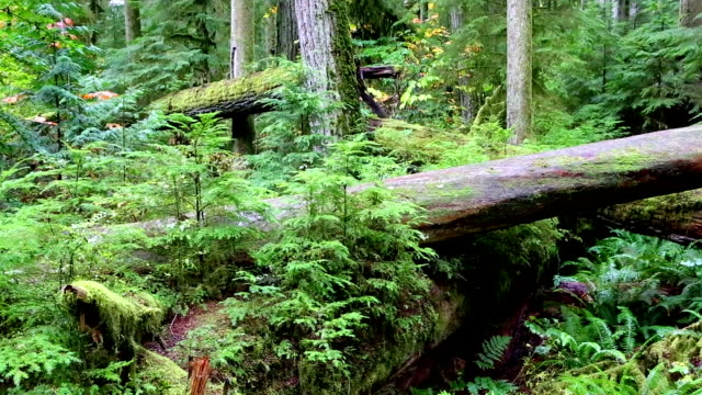 macmillan provincial park cathedral grove vancouver island - douglas fir stock videos and b-roll footage