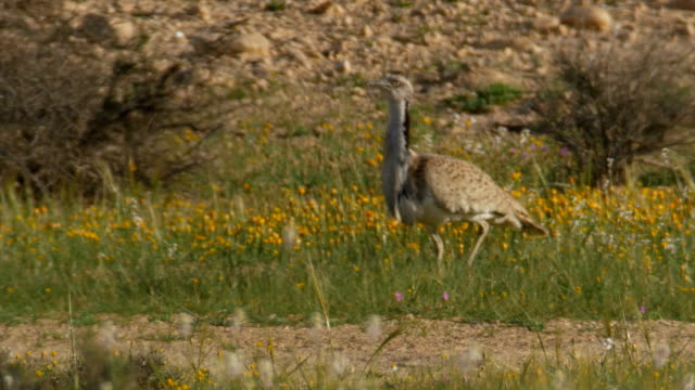 MacQueen's bustard/Houbara bustard (Chlamydotis macqueenii) in Display