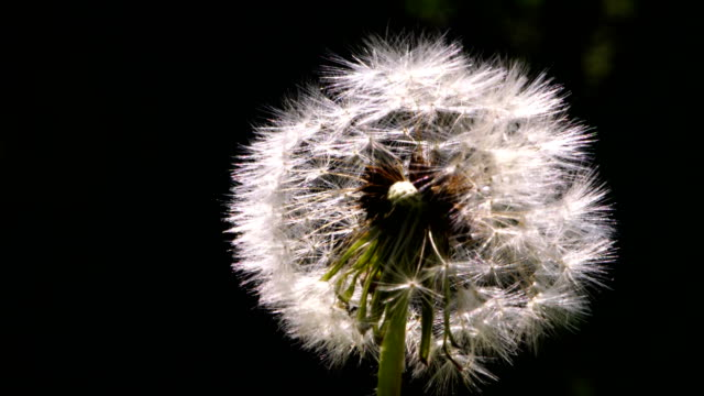 macro abstract close up of inside of a dandelion flowe - micro organism stock videos & royalty-free footage