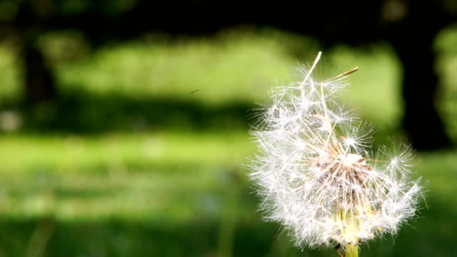 macro abstract close up of inside of a dandelion flowe - dandelion stock videos & royalty-free footage