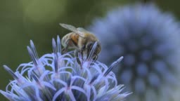 Macro- bee on thistle