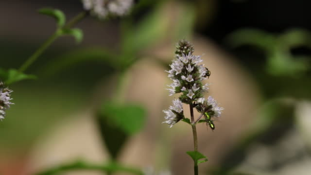 Macro CU, Bees pollinating a mint flower