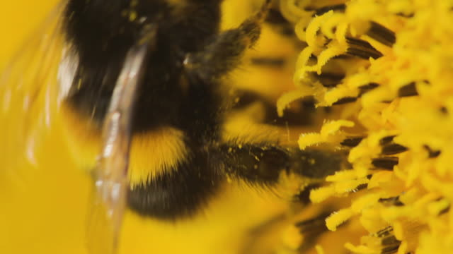 macro bumblebee covered in pollen - 受粉点の映像素材/bロール