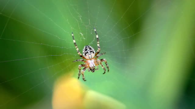 macro close up of a spider eating on its spider web - spider stock videos & royalty-free footage
