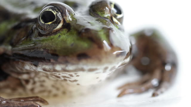 Macro Close-up Video of a Frog