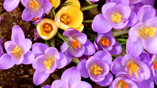 macro dolly: crocuses in spring - single flower stock videos & royalty-free footage