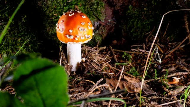 macro dolly: fly agaric - fly agaric stock videos and b-roll footage
