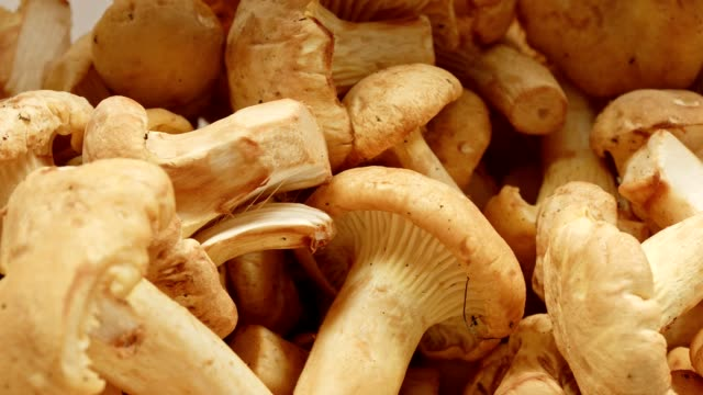 macro dolly: fresh chanterelles - fungus part stock videos and b-roll footage