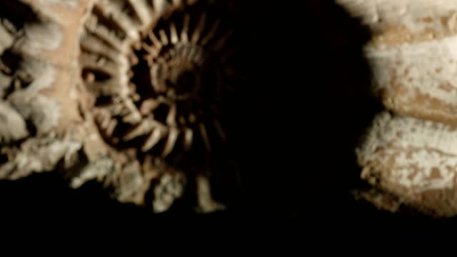Macro dolly: Jurassic Ammonite on black