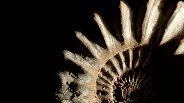 Macro dolly: Jurassic Ammonite on black