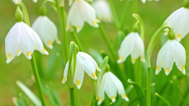vidéos et rushes de dolly de la macro: lily-de-la-vallée au printemps - muguet