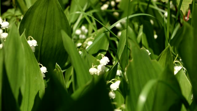 macro dolly: lily-of-the-valley in spring - cultivated land stock videos & royalty-free footage