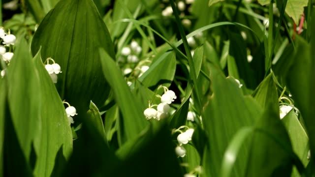 vidéos et rushes de dolly de la macro: lily-de-la-vallée au printemps - cultures
