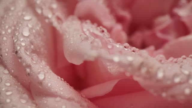 macro dolly shot of waterdrop raindrop on the rose flower petal romantic love theme background - dew stock videos & royalty-free footage