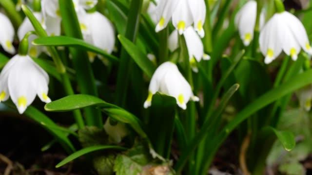 vidéos et rushes de macro dolly: flocons de neige de printemps sur un pré en pleine floraison - muguet