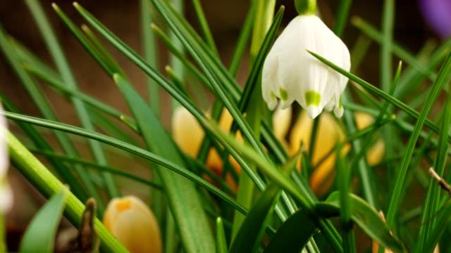 vidéos et rushes de dolly de la macro: flocons de neige de printemps sur une prairie en pleine floraison - muguet