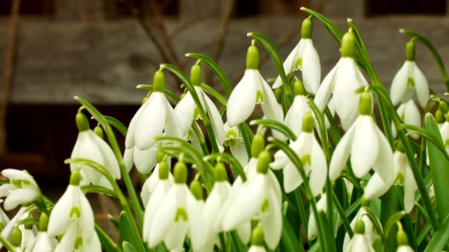 macro dolly: spring snowflakes on a meadow in full bloom - snowdrop stock videos and b-roll footage