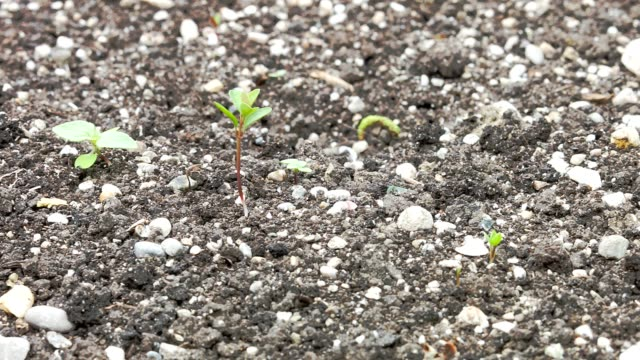 Macro Dolly: Young carrot seedlings