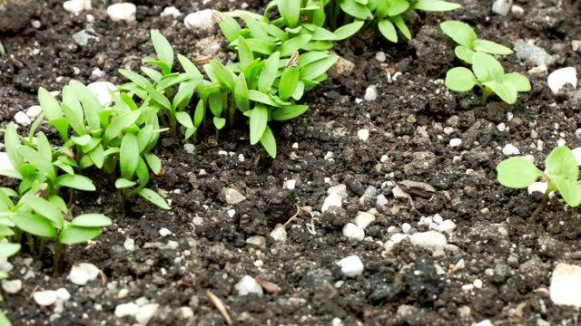 macro dolly: young carrot seedlings - carrot stock videos and b-roll footage