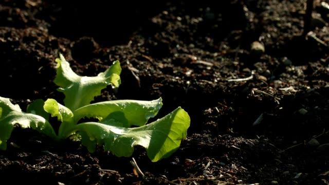 vidéos et rushes de dolly de macro: les plantes jeunes salade - salade verte