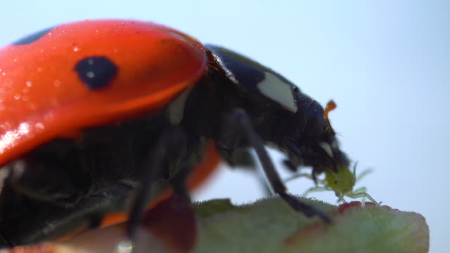macro ladybird eating plant louse in slow motion - biologia video stock e b–roll
