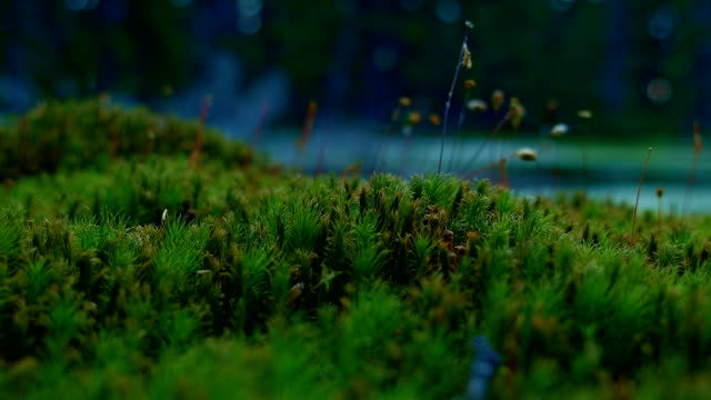Macro moss at dusk Hidden Swamp Oregon Cascades Oval Lake Mt. Hood National Forest 08