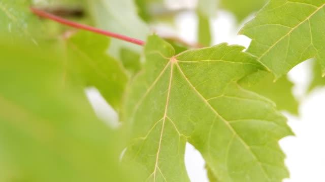 macro nature - maple tree stock videos & royalty-free footage