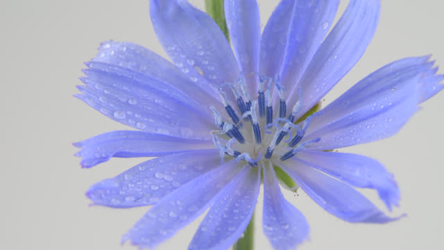 vídeos de stock e filmes b-roll de macro of a common chicory (cichorium intybus) flower - pistilo