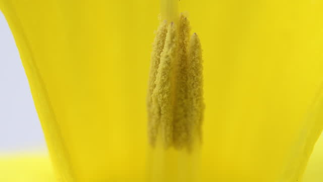 macro of a yellow daffodil flower - pistil stock videos & royalty-free footage