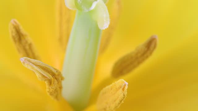 macro of a yellow tulip flower - pistil stock videos & royalty-free footage