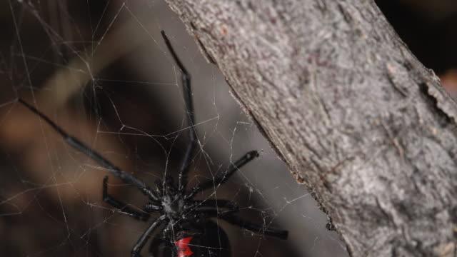 macro of black widow spider crawling on web - black widow spider stock videos & royalty-free footage