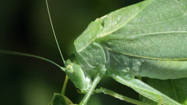 stockvideo's en b-roll-footage met macro of katydid cleaning leg - dierenverzorging