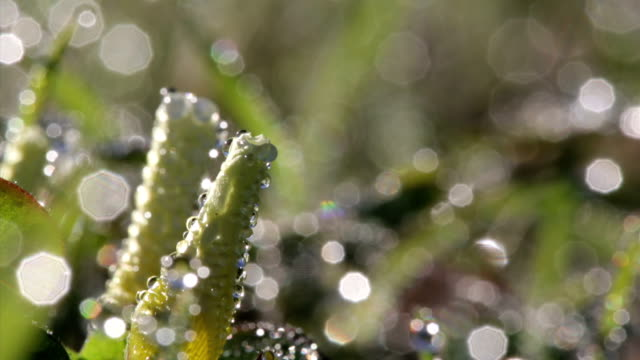 macro of morning flowers opening up covered in dew - morning dew stock videos & royalty-free footage
