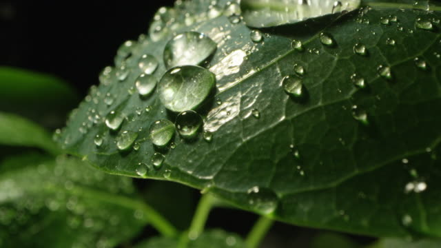 macro of plant leaf covered in dew drops as they roll off - bagnato video stock e b–roll