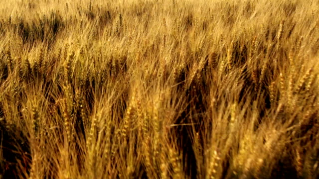 macro of wheat ears in wind - ear of wheat stock videos and b-roll footage