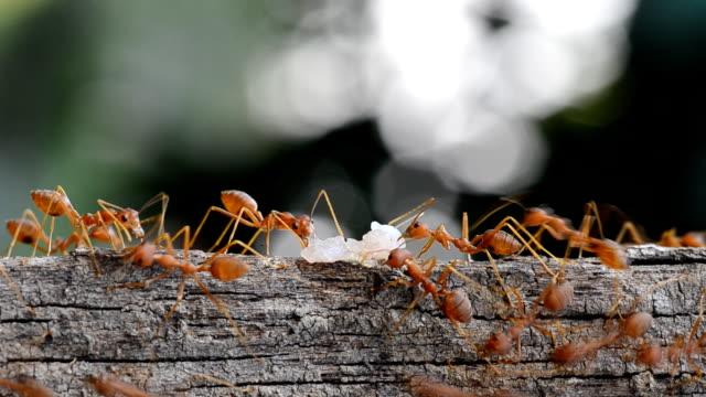 vídeos de stock, filmes e b-roll de fotografia macro de formigas carregando alguns alimentos. - arbusto tropical