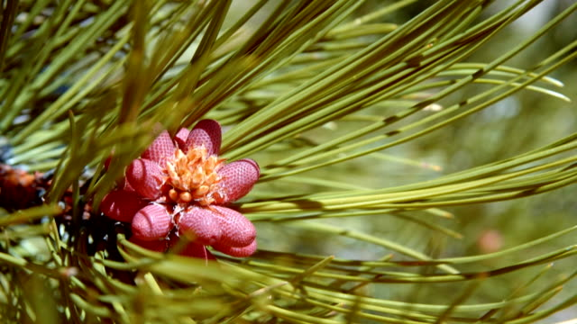 Macro ponderosa pine needles and male cones new spring growth bright colorful 1 Mt. Hood Spring Forest Oregon Cascade Mountains