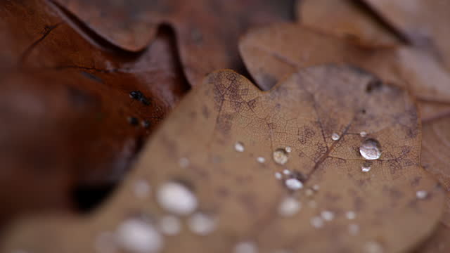 macro pull focus water droplets on autumn oak leaves - condensation stock videos & royalty-free footage