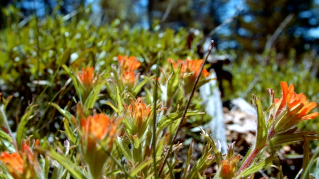 stockvideo's en b-roll-footage met macro red indian paintbrush flower grandiflorum wildflowers in spring glowing forest meadow midday 1 mt. hood spring forest oregon cascade mountains - pacific crest trail