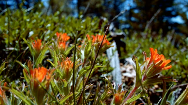 stockvideo's en b-roll-footage met macro red indian paintbrush flower grandiflorum wildflowers in spring glowing forest meadow midday 2 mt. hood spring forest oregon cascade mountains - pacific crest trail