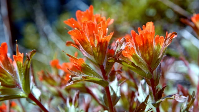 stockvideo's en b-roll-footage met macro red indian paintbrush flower grandiflorum wildflowers in spring glowing forest meadow midday 5 mt. hood spring forest oregon cascade mountains - pacific crest trail