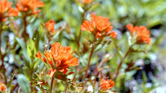 macro red indian paintbrush flower grandiflorum wildflowers in spring glowing forest meadow midday 6 mt. hood spring forest oregon cascade mountains - pacific crest trail stock videos & royalty-free footage