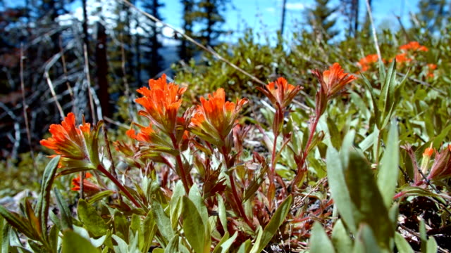 stockvideo's en b-roll-footage met macro red indian paintbrush flower grandiflorum wildflowers in spring glowing forest meadow midday 4 mt. hood spring forest oregon cascade mountains - pacific crest trail