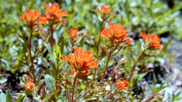 stockvideo's en b-roll-footage met macro red indian paintbrush flower grandiflorum wildflowers in spring glowing forest meadow midday 7 mt. hood spring forest oregon cascade mountains - pacific crest trail