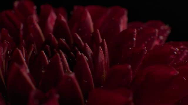 マクロはダリアのショットを回転させる花のスタジオは、黒の背景に撮影 - ダリア点の映像素材/bロール