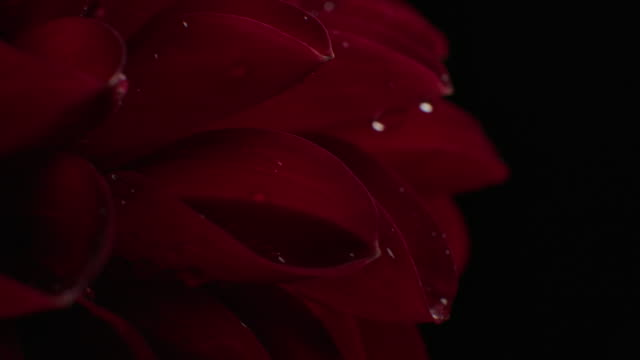 macro rotate shot of dahlia flower studio shot on black background - daisy stock videos & royalty-free footage