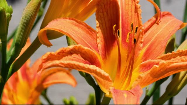 macro shot / close up of orange tiger lily flower. - オニユリ点の映像素材/bロール