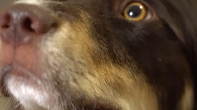 macro shot of a border collie australian shepherd mix sniffing - border collie stock videos & royalty-free footage