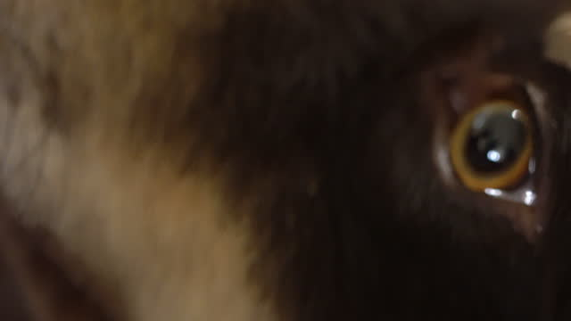 macro shot of a border collie australian shepherd mix sniffing - young animal stock videos & royalty-free footage