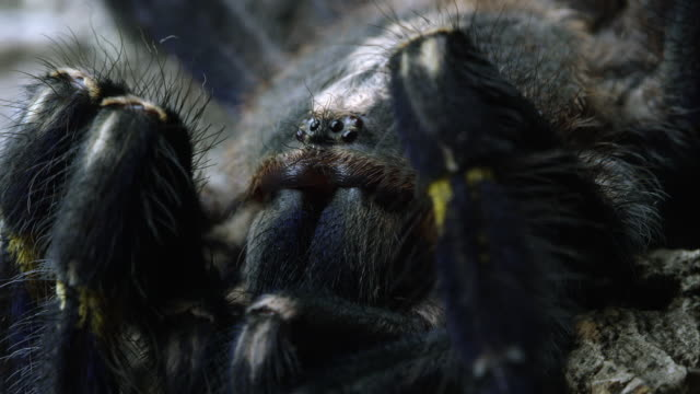 Macro shot of a Gooty Sapphire Ornamental Tree Spider's head.